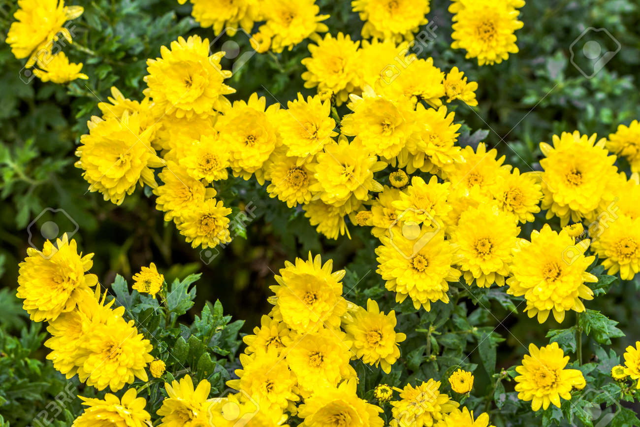 Background With Autumn Flowers, Bouquet Of Yellow Chrysanthemum ...