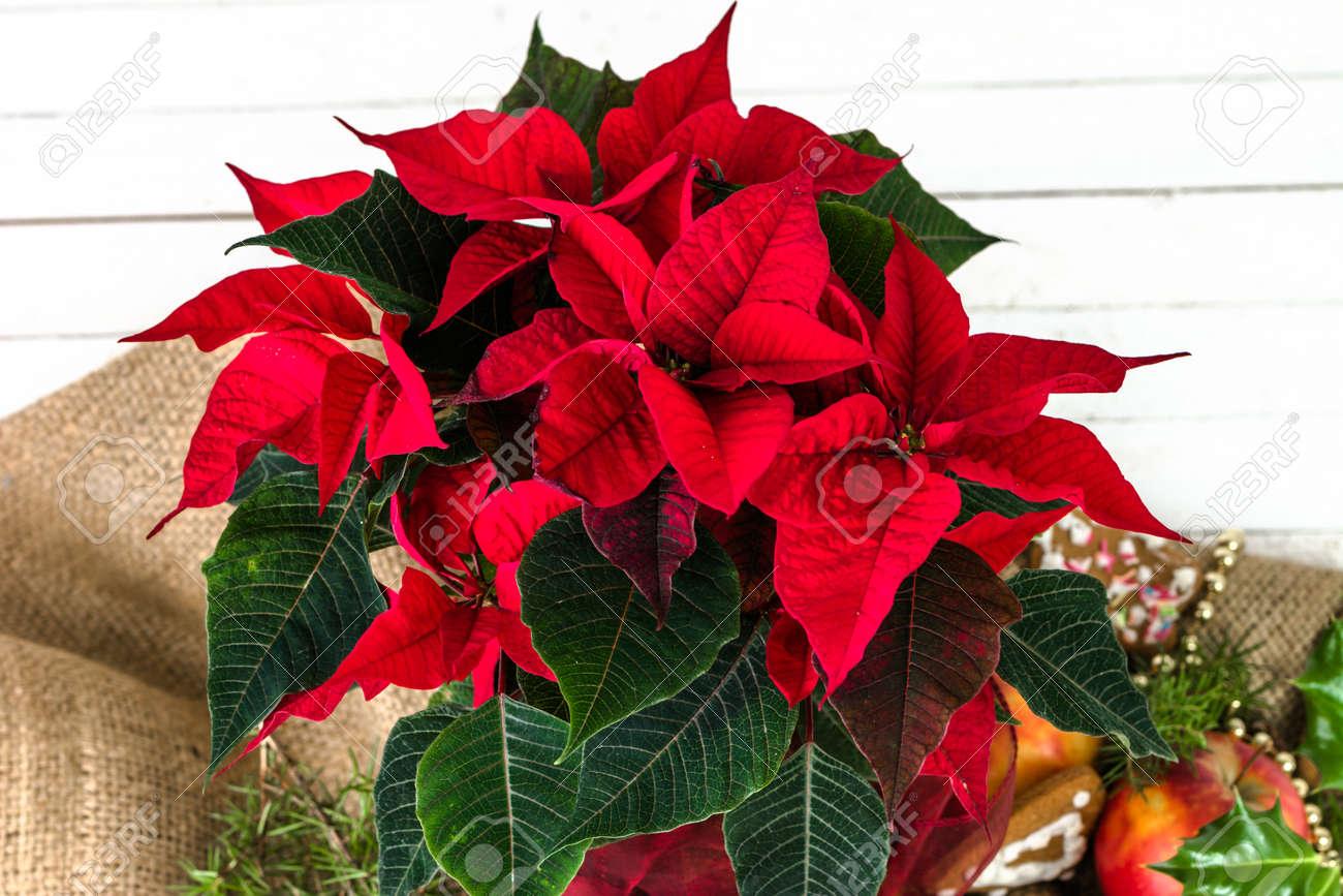 Immagini Di Fiori Di Natale.Poinsettia Rosso Fiore Di Natale Per La Decorazione Della Tavola O Priorita Bassa Di Natale