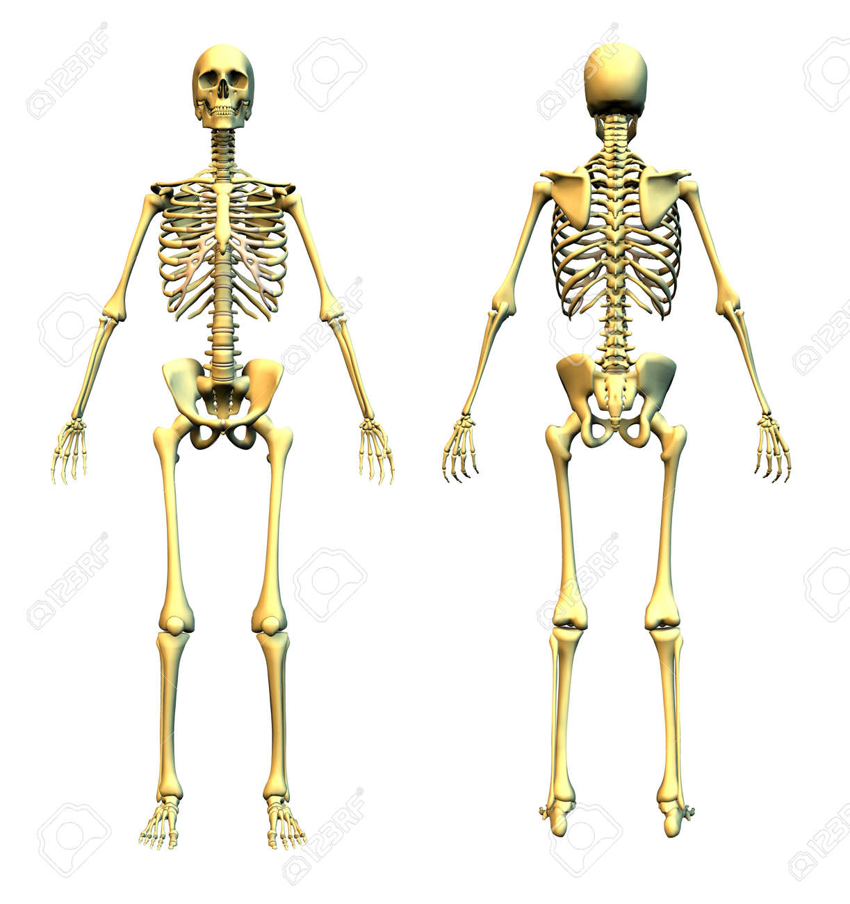 Anatomically Correct 3D Render Of A Skeleton - Front And Back. Stock ...