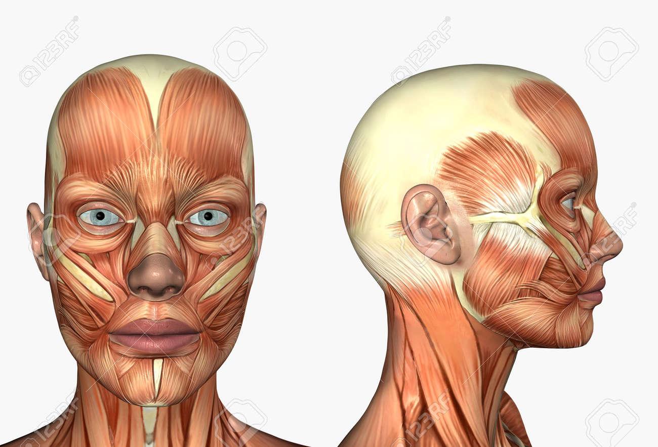 3D Hacen Que Representa La Anatomía Humana - Músculos - Cabeza De ...