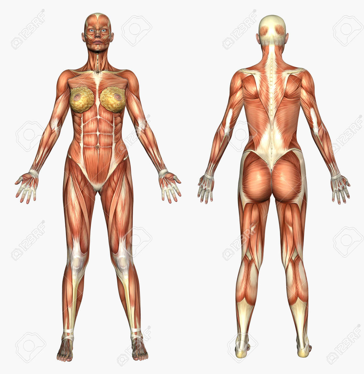 3D Render Depicting Human Anatomy - Muscles - Female. Stock Photo ...