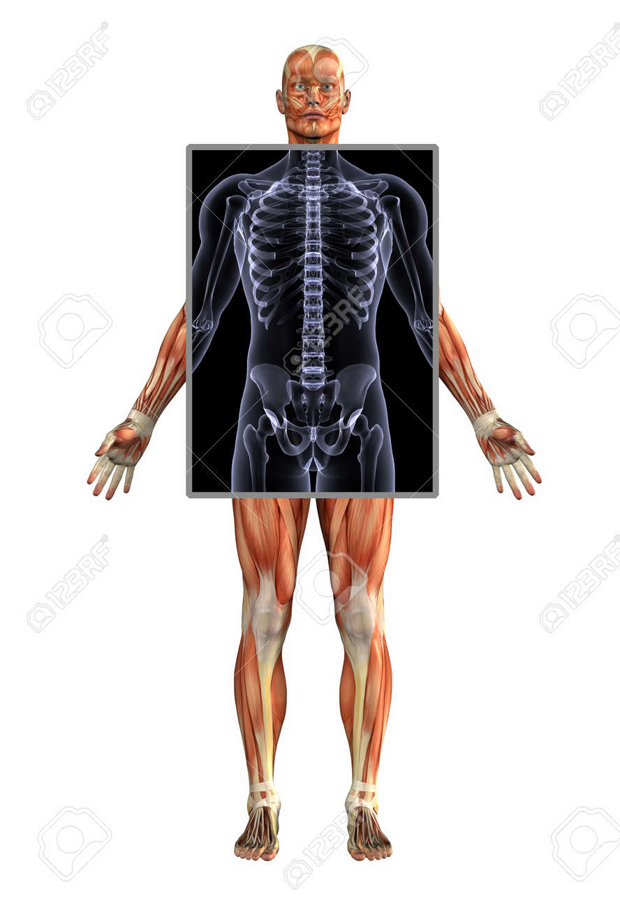3d Render Anatomy Of Muscles With Xray Male