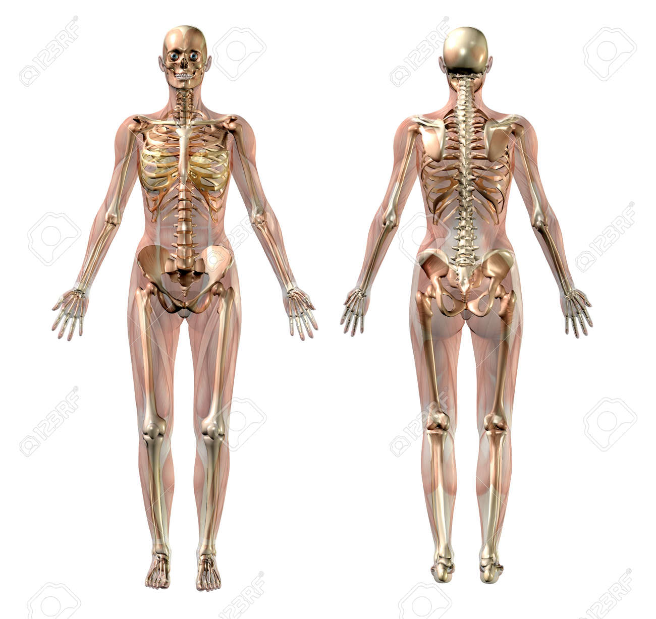 3D Render Of A Female Skeleton With Semi-transparent Muscles. Stock ...