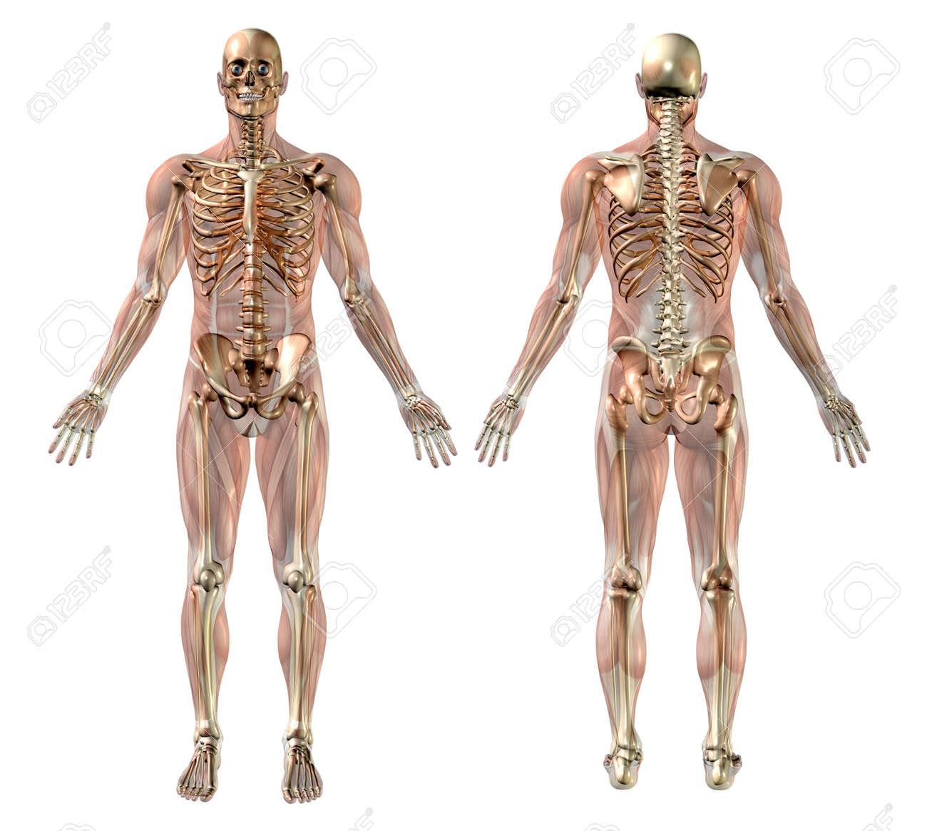 Männlich Skelett Mit Semi-transparent Muskeln - Medizinisch Genaue ...