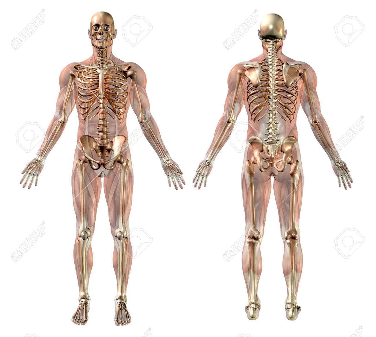 Male Skeleton With Semi Transparent Muscles Medically Accurate