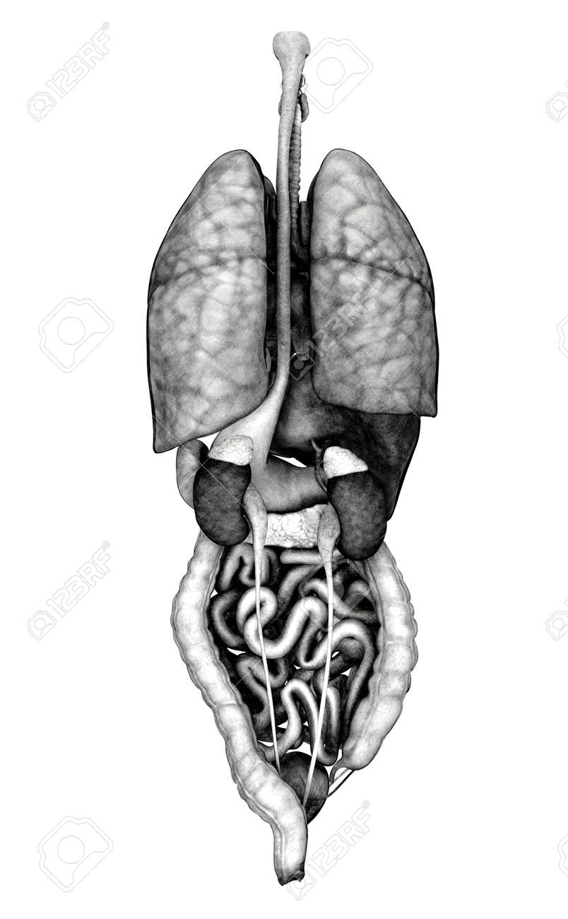 3D Render Depicting The Internal Organs - Back View. Special.. Stock ...