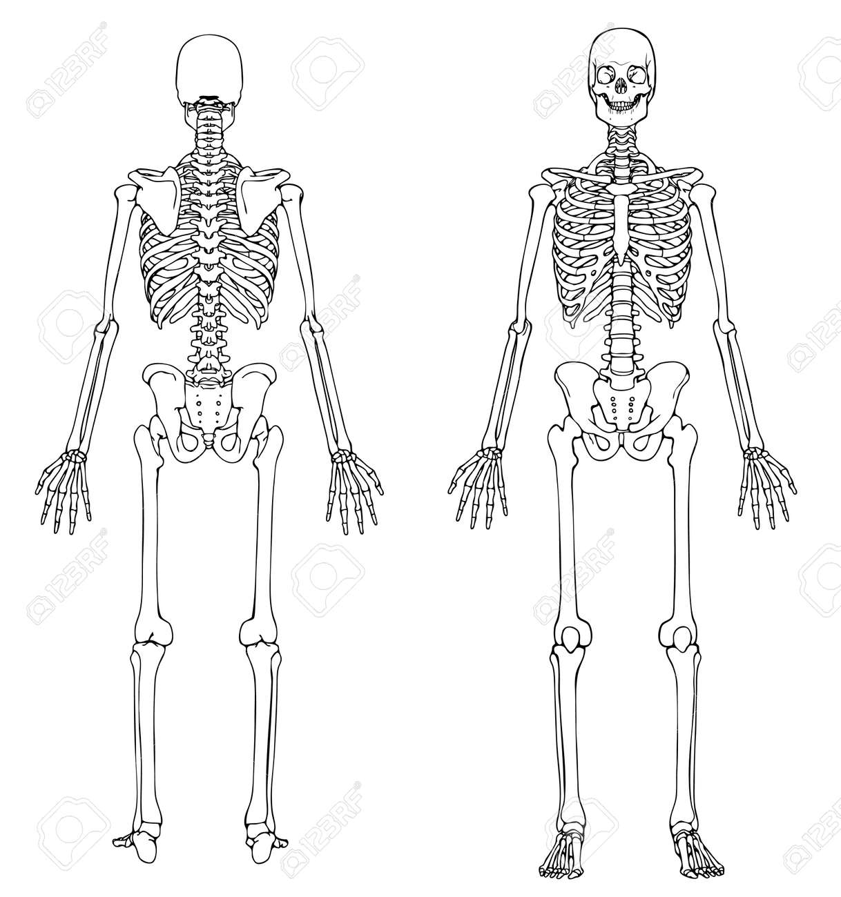 Human Skeleton - Frant And Back Royalty Free Cliparts, Vectors, And ...