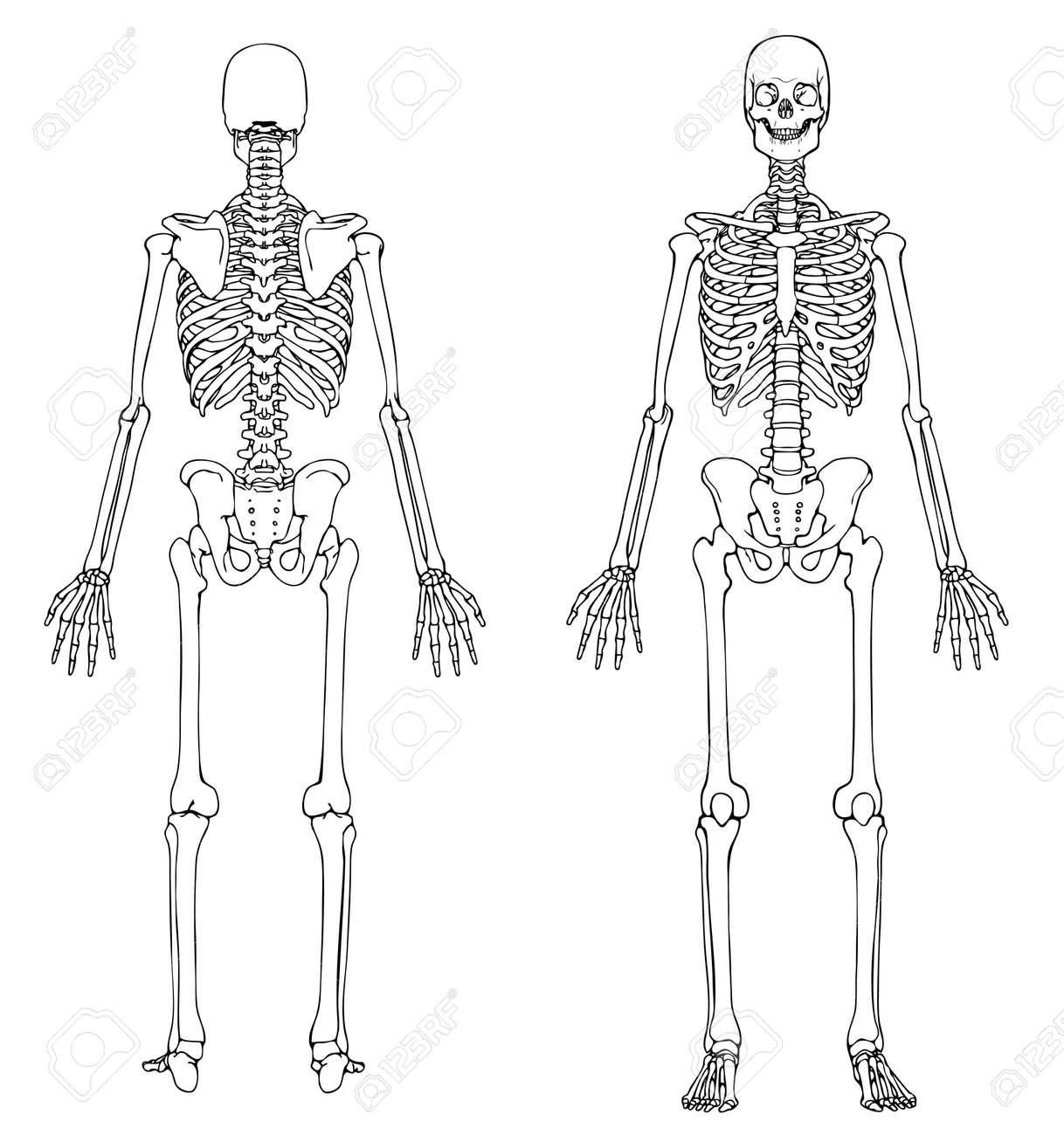 Fantastisch Menschliche Knochen Zurück Ideen - Menschliche Anatomie ...