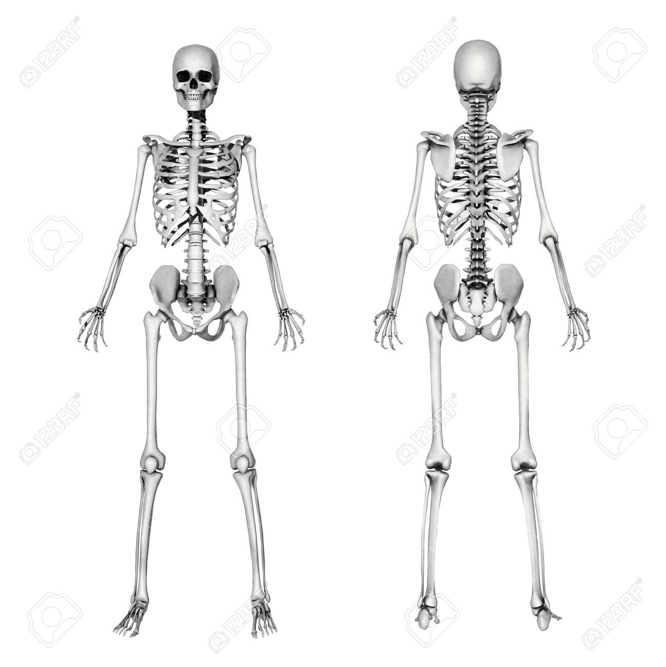 A Female Skeleton, Front And Back. This Is A 3D Render - Special ...