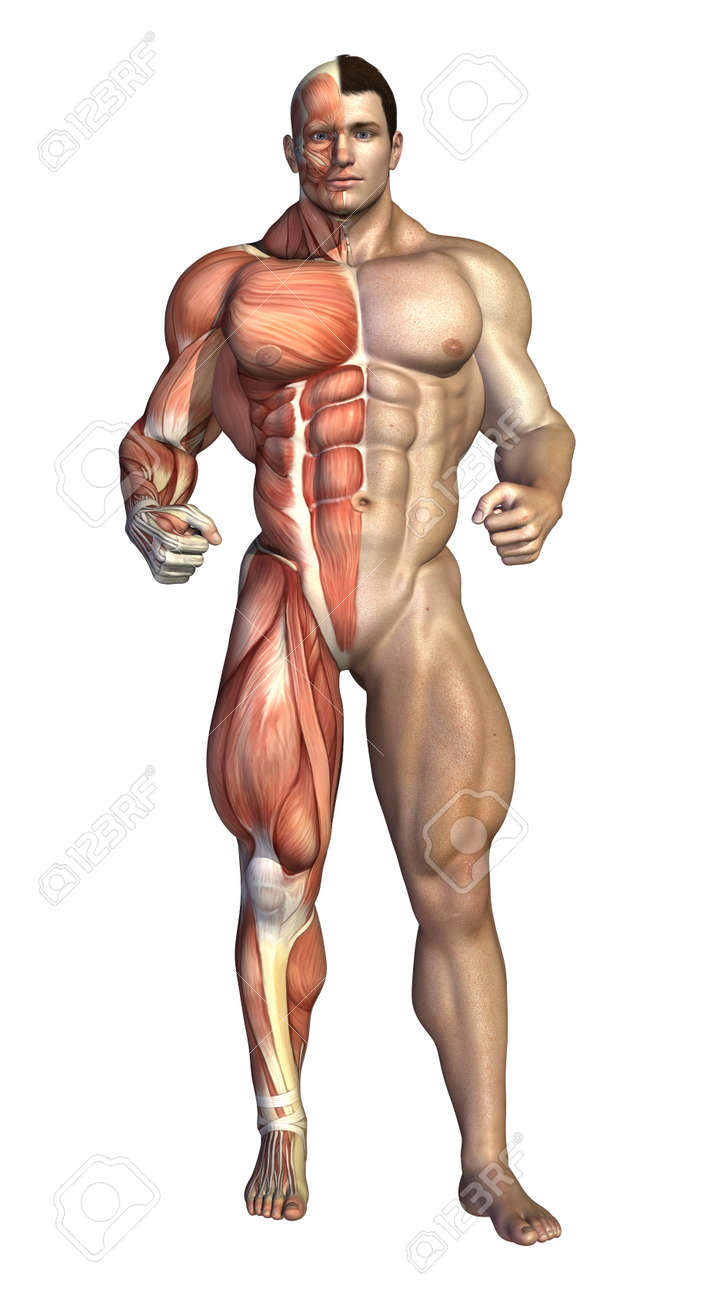 muscular system stock photos images. royalty free muscular system, Muscles