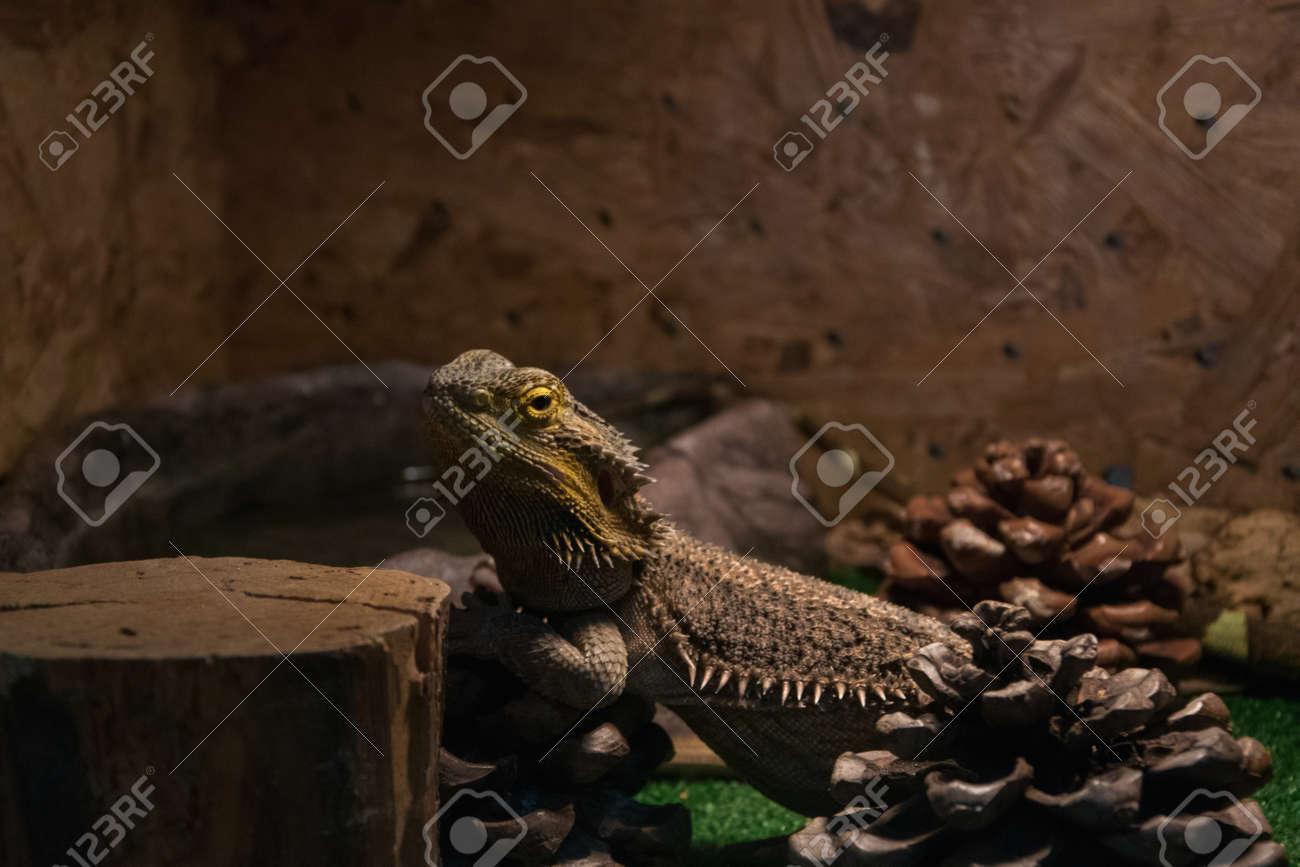 Exotic Wild Animal In Terrarium Water Dragon Stock Photo Picture