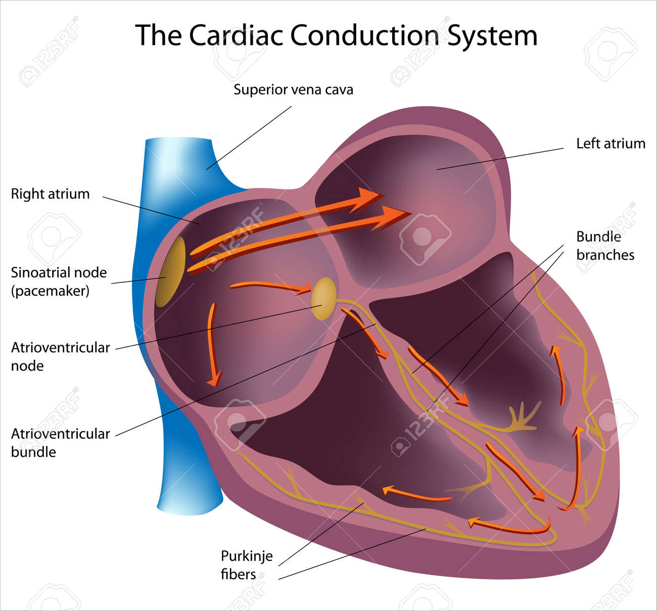 thesis chapter submitted heart myocardium scaffold The age of biomaterials: preserving the myocardium after infarction to promote heart repair and function nicholas blackburn a thesis submitted to the.