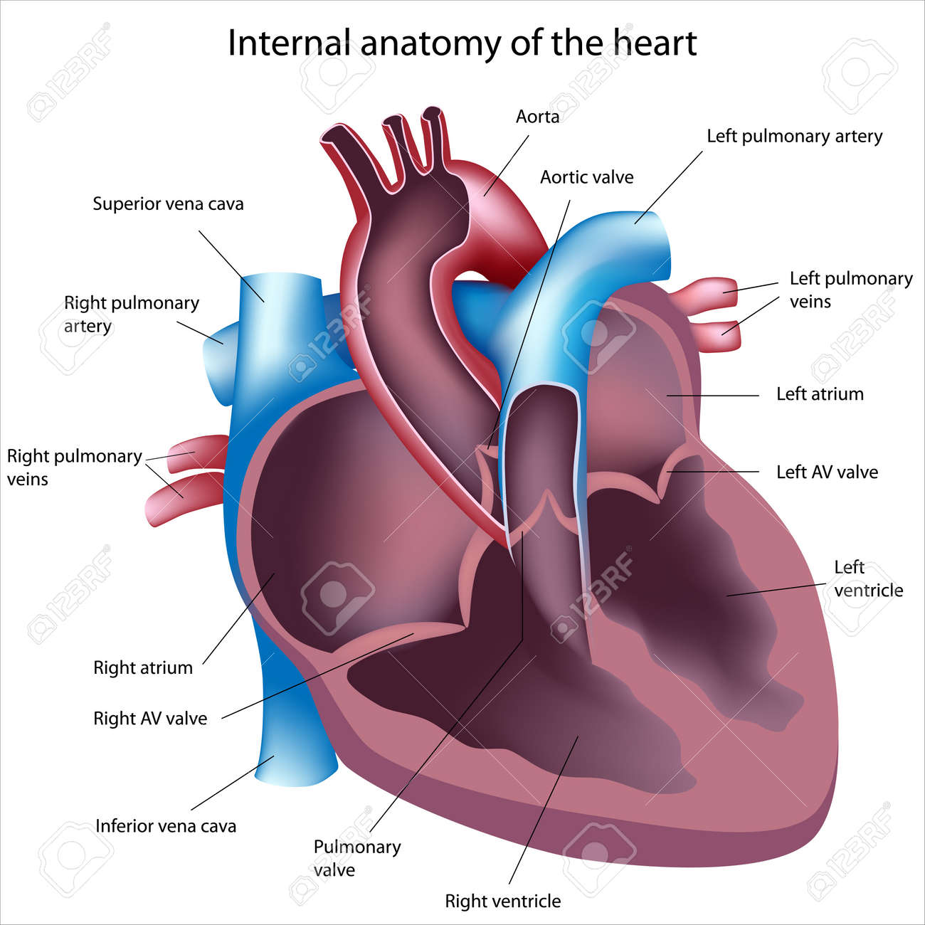 anatomy heart images & stock pictures. royalty free anatomy heart, Muscles