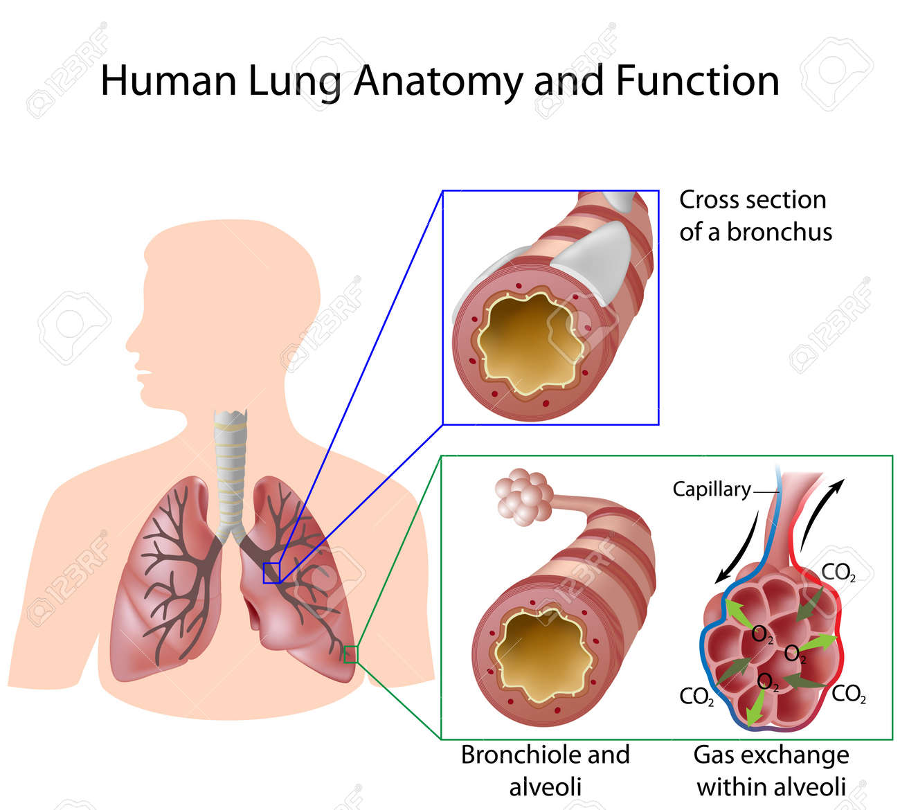 Human Lung Anatomy And Function Royalty Free Cliparts, Vectors, And ...