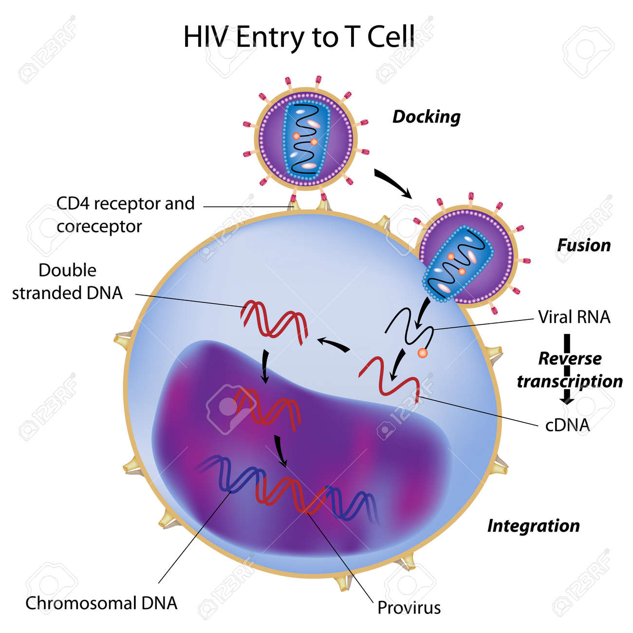 HIV entry to T cell Stock Vector - 12497990