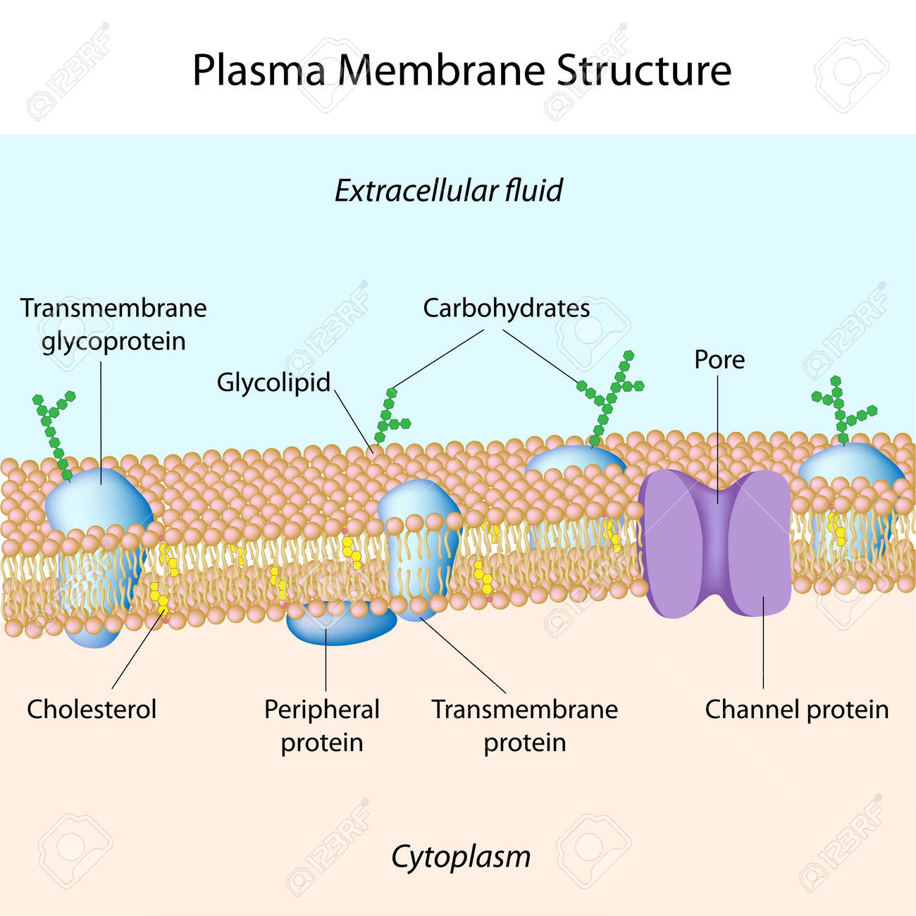Cell Membrane Structure Cholesterol Structure of plasma membrane