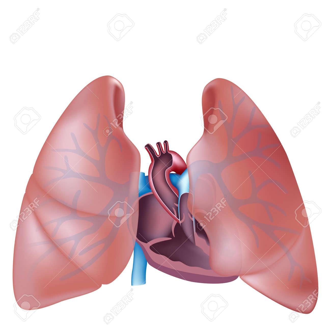 Corazón De La Sección Transversal Y La Anatomía De Los Pulmones ...