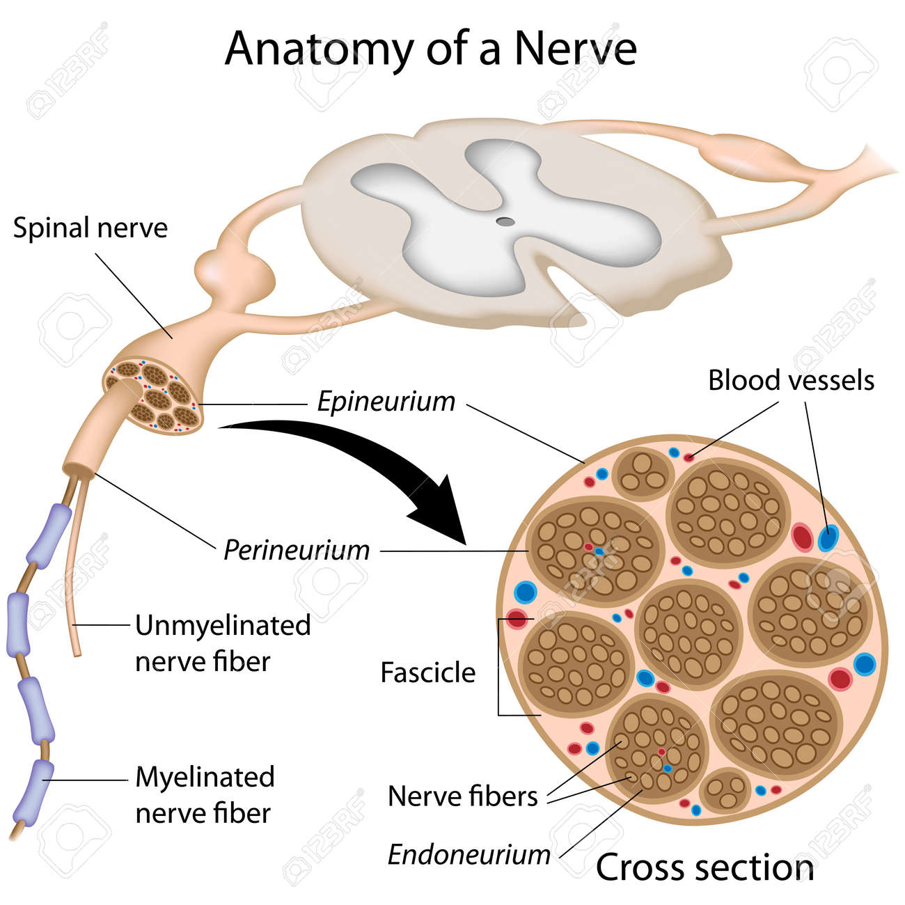 Anatomy Of A Nerve Royalty Free Cliparts, Vectors, And Stock ...