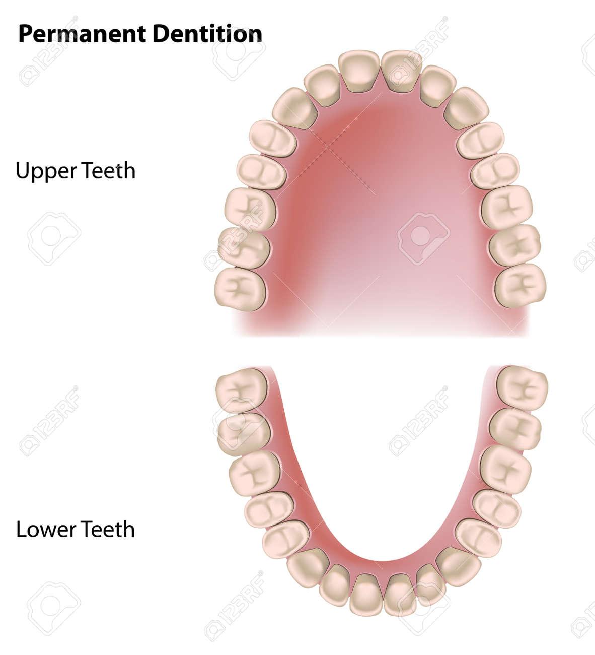 Permanent teeth, adult dentition - 13057702