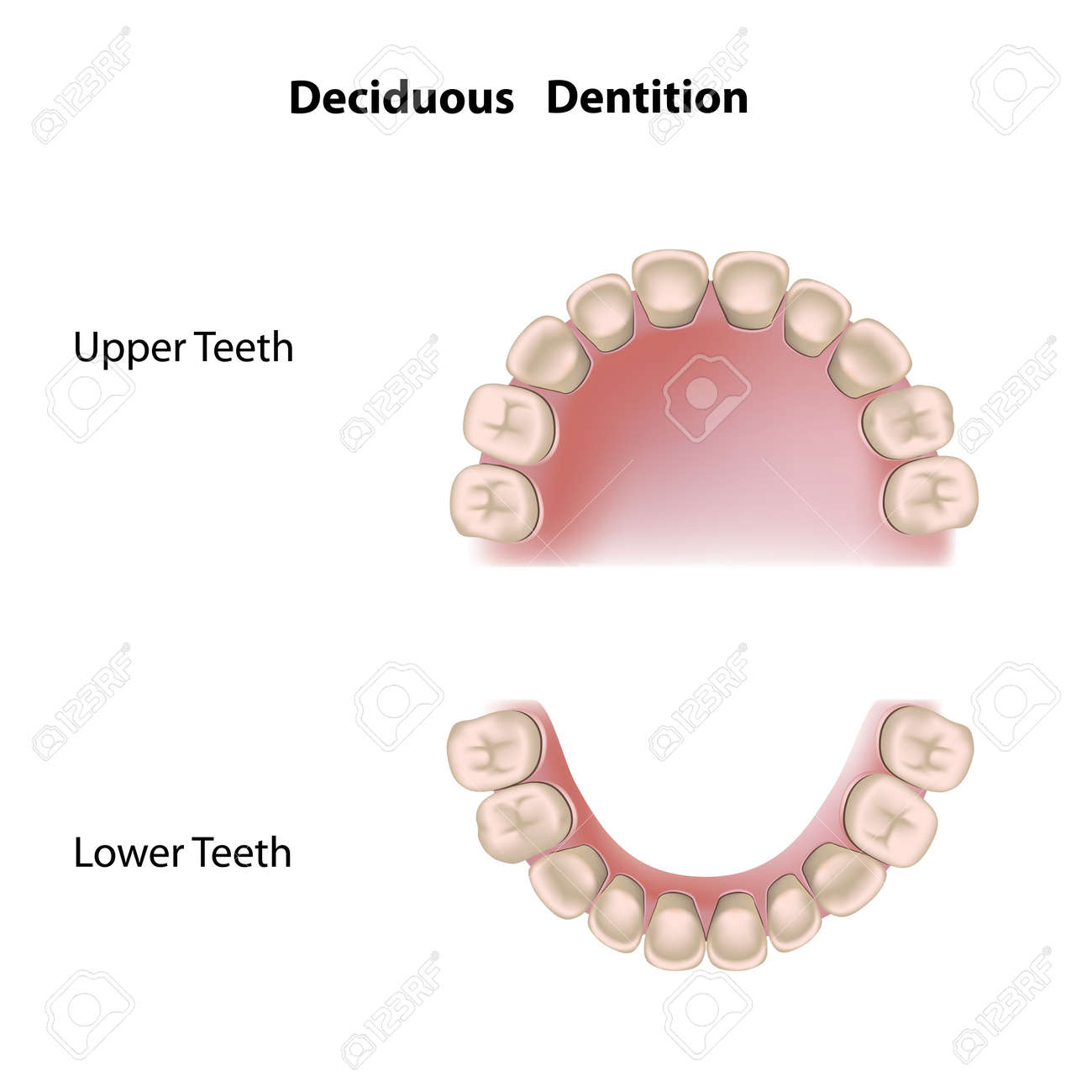 Deciduous Dentition (baby Teeth) Royalty Free Cliparts, Vectors ...