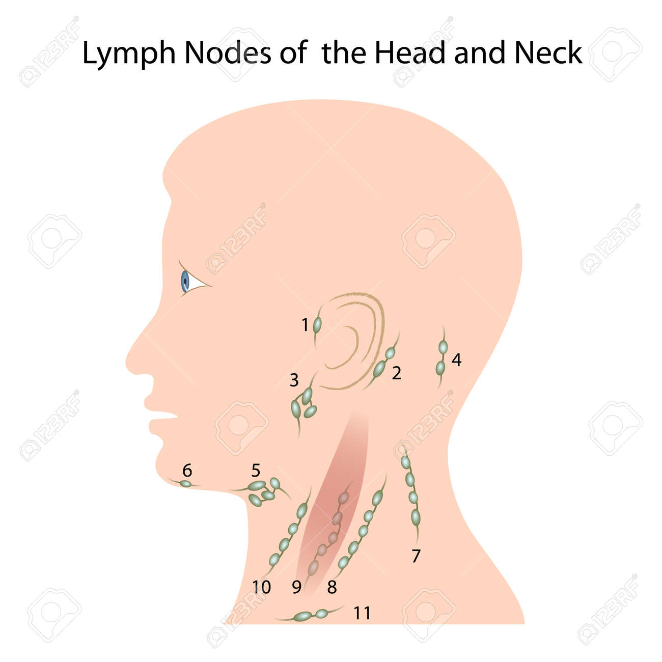 Lymph nodes of the head and neck royalty free cliparts vectors and lymph nodes of the head and neck stock vector 13281690 ccuart Gallery