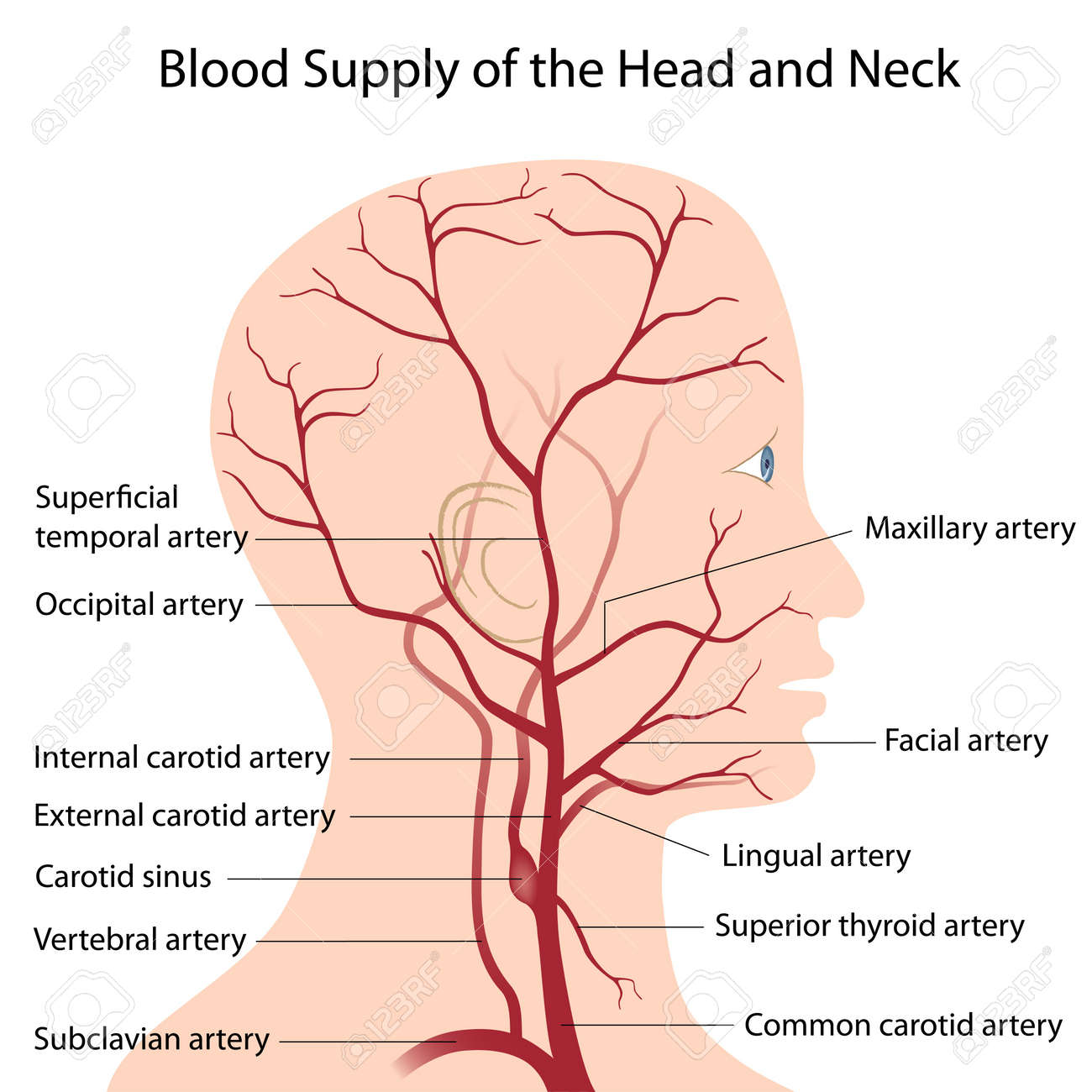 Blood supply of the head and neck royalty free cliparts vectors blood supply of the head and neck stock vector 13358618 ccuart Gallery