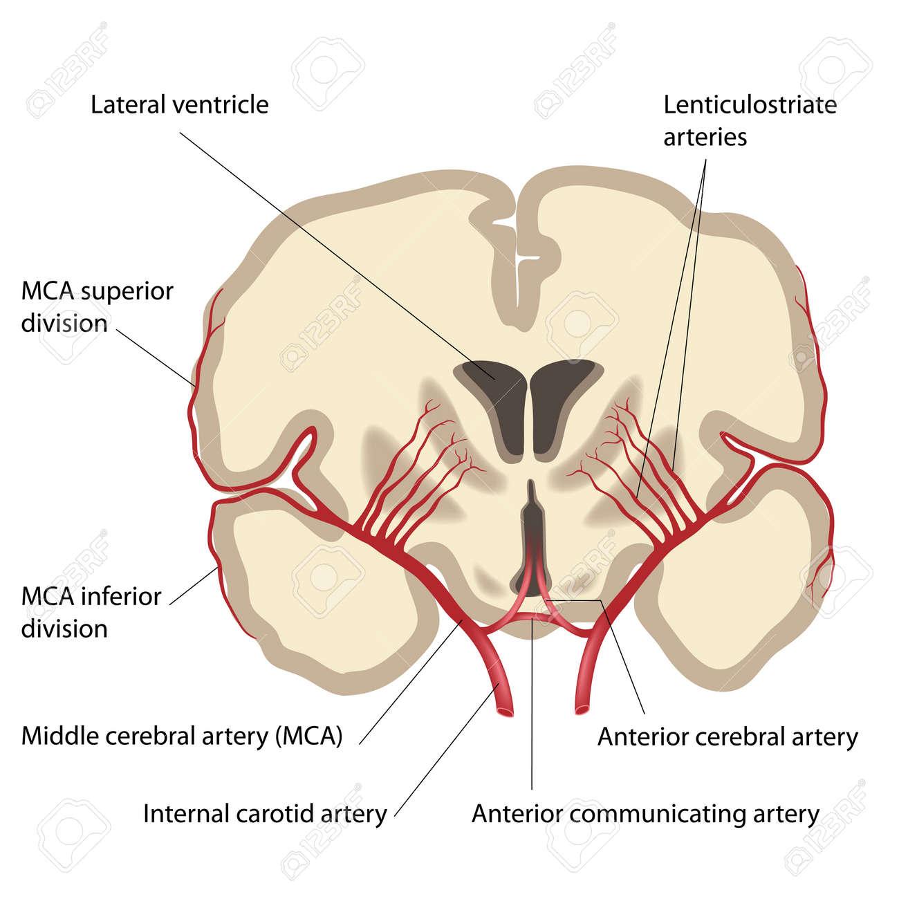 中大脳動脈および枝のイラスト素...