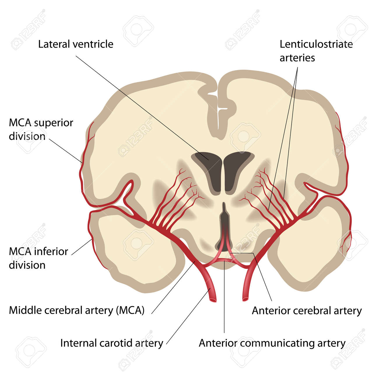 Middle Cerebral Artery And Branches Royalty Free Cliparts Vectors