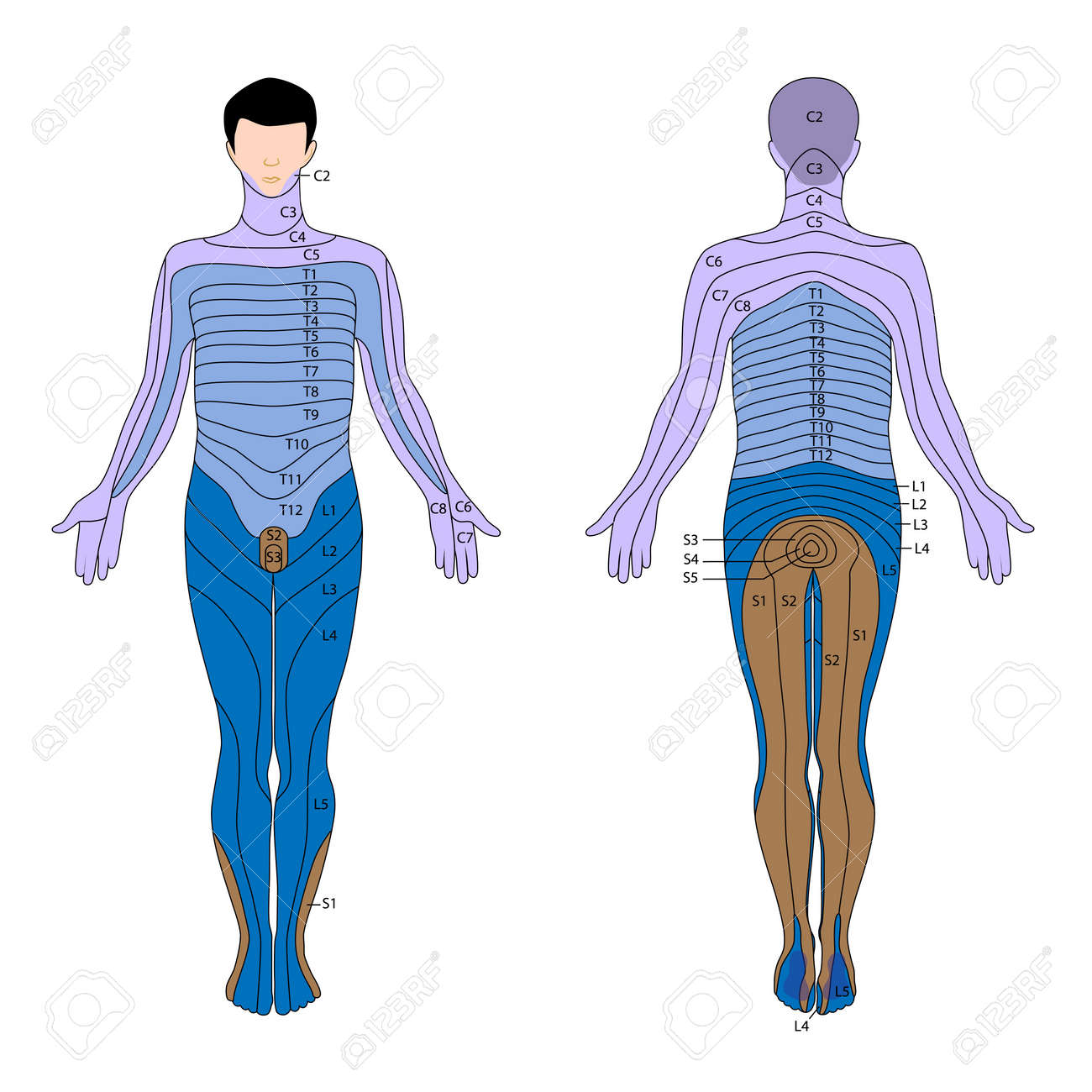 Dermatome Royalty Free Cliparts, Vectors, And Stock Illustration ...