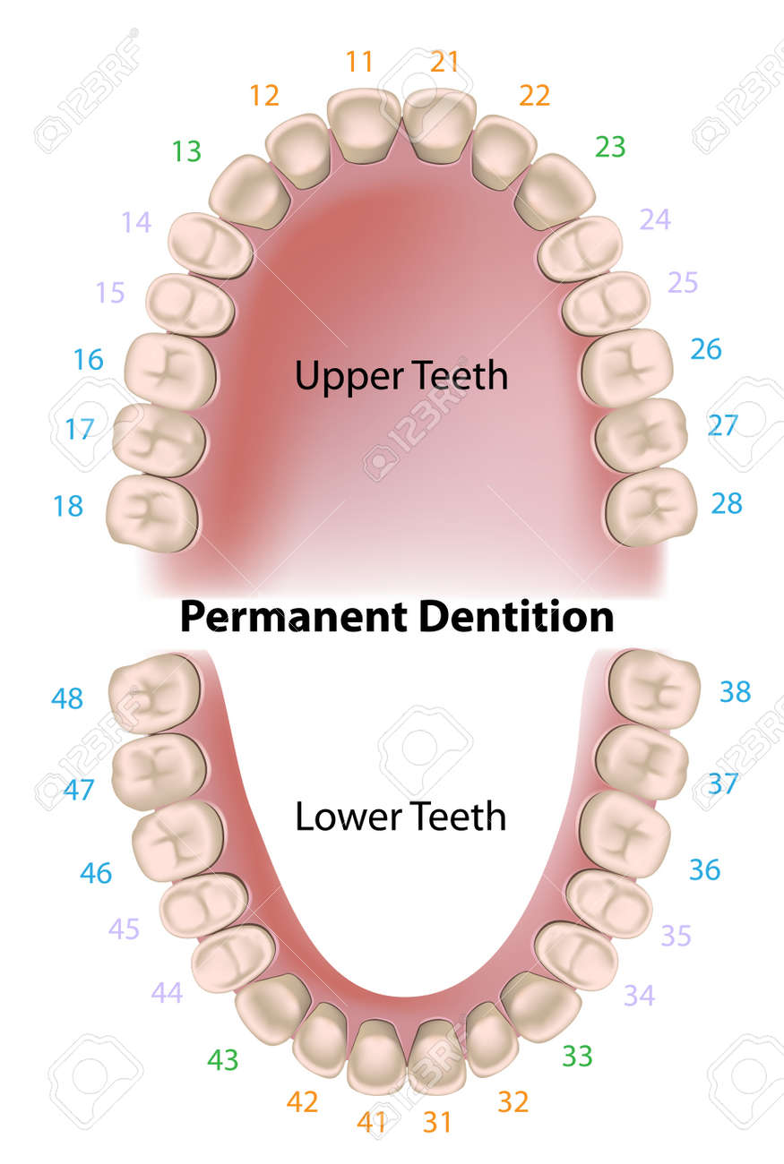 Dental Notation Permanent Teeth Royalty Free Cliparts, Vectors ...