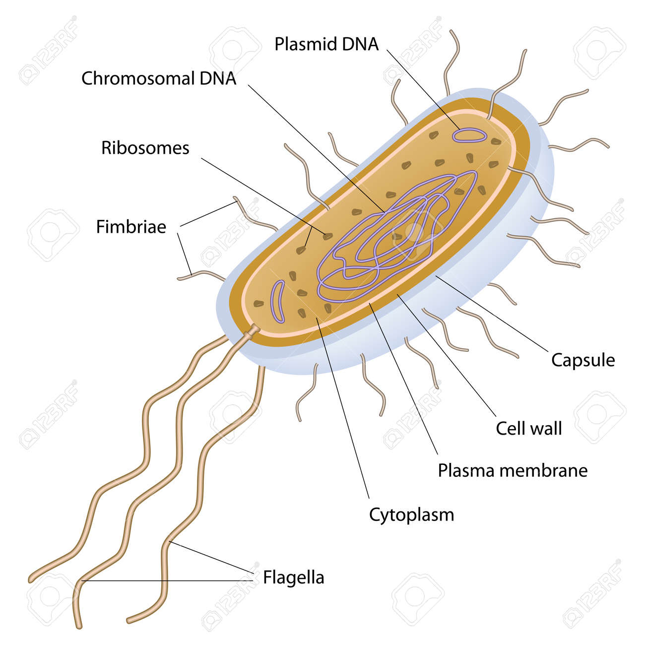 Structure of a bacterial cell royalty free cliparts vectors and structure of a bacterial cell stock vector 14458593 ccuart Image collections