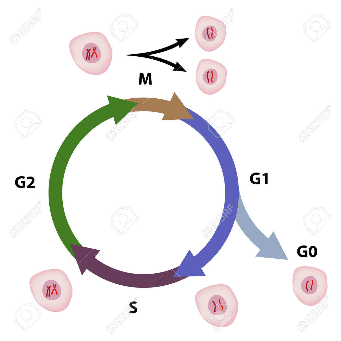 Cell cycle - 14458596