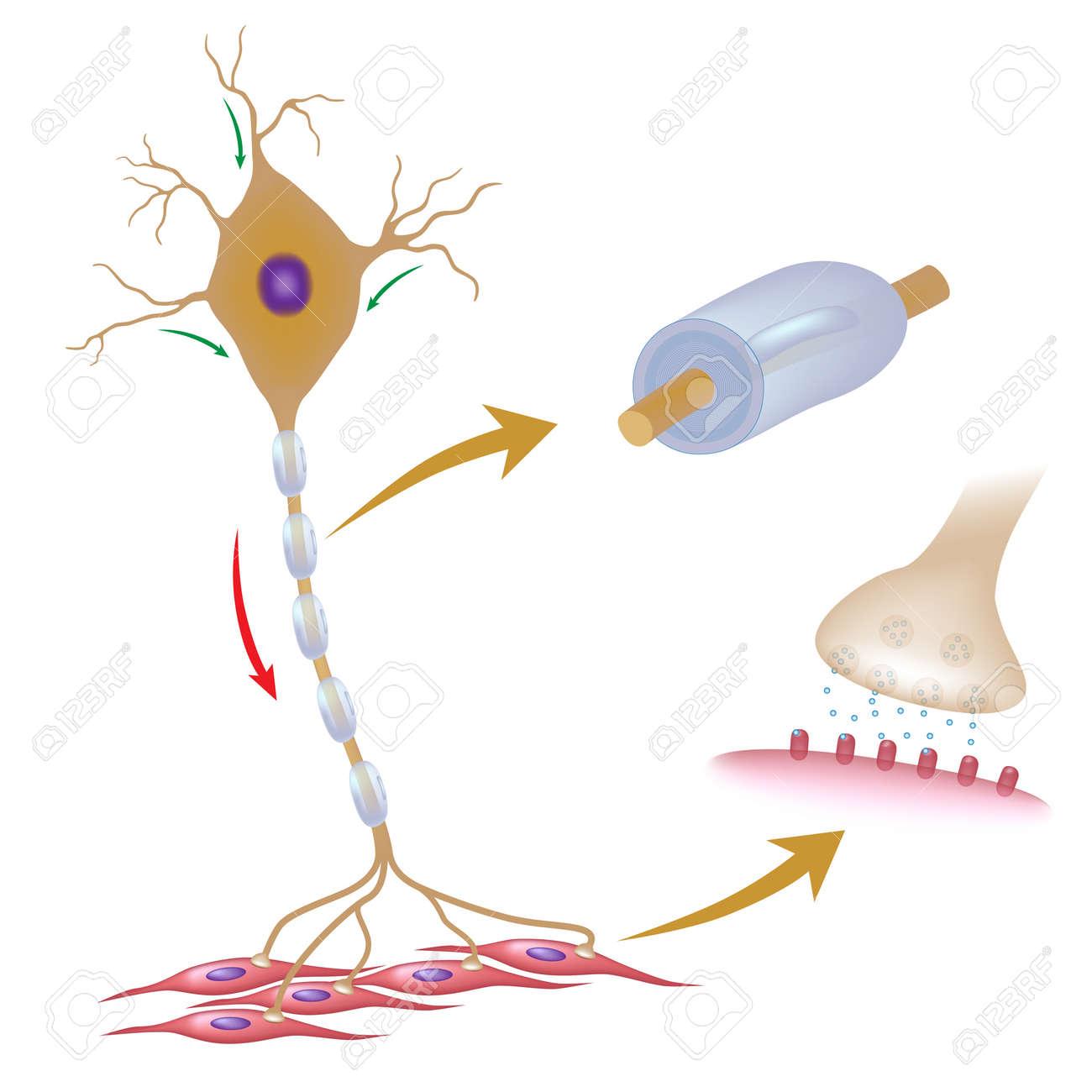 ミエリンとシナプスの詳細と運動ニューロンのイラスト素材ベクタ