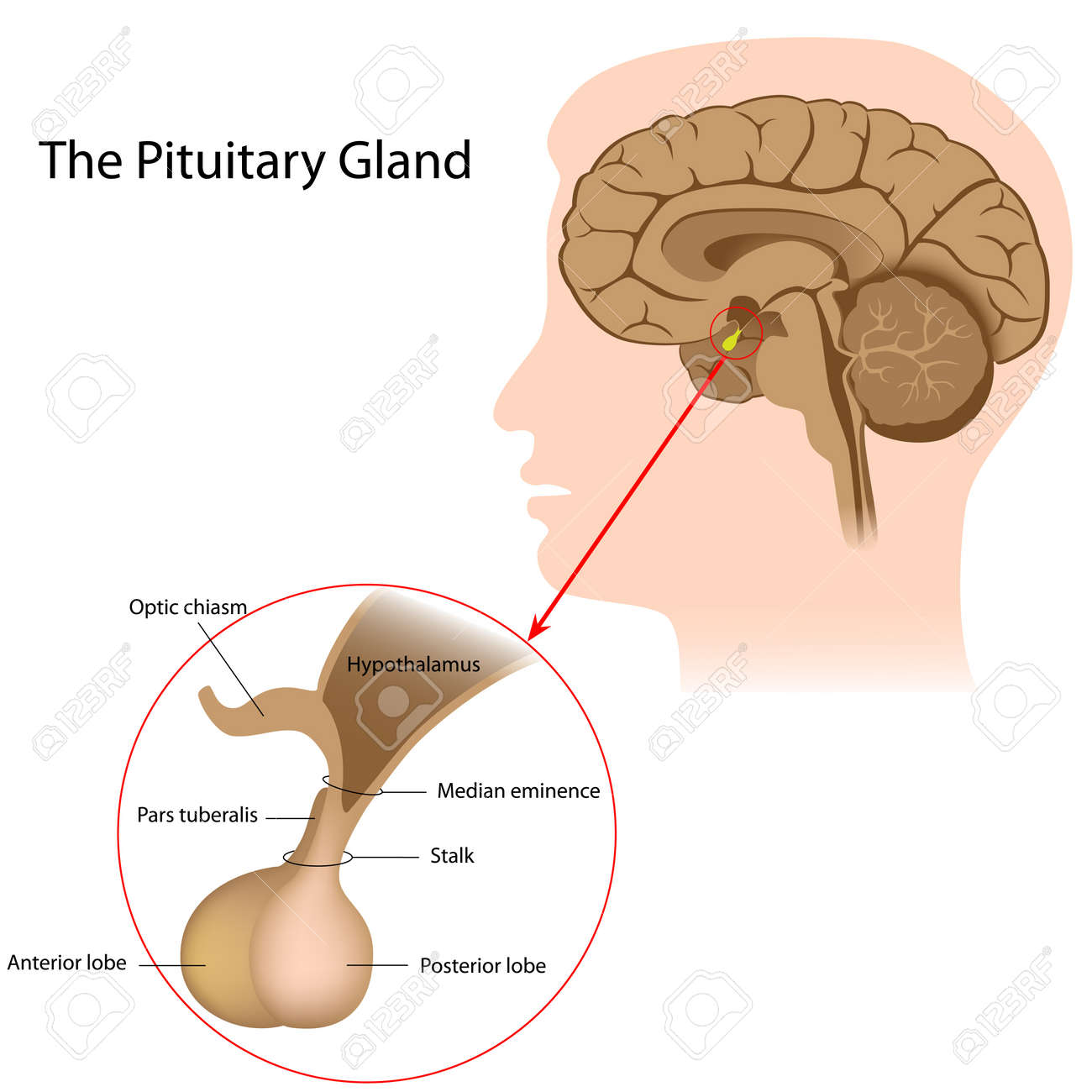 The Pituitary Gland Royalty Free Cliparts, Vectors, And Stock ...