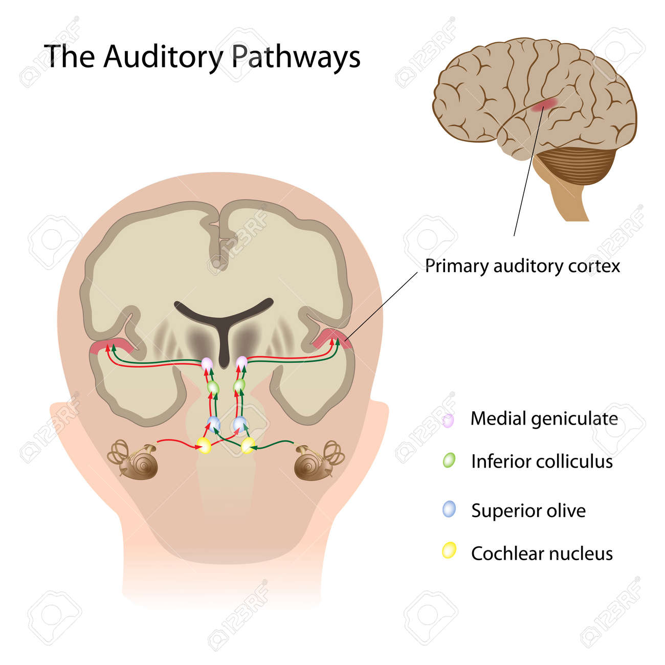 The auditory pathways - 15313015