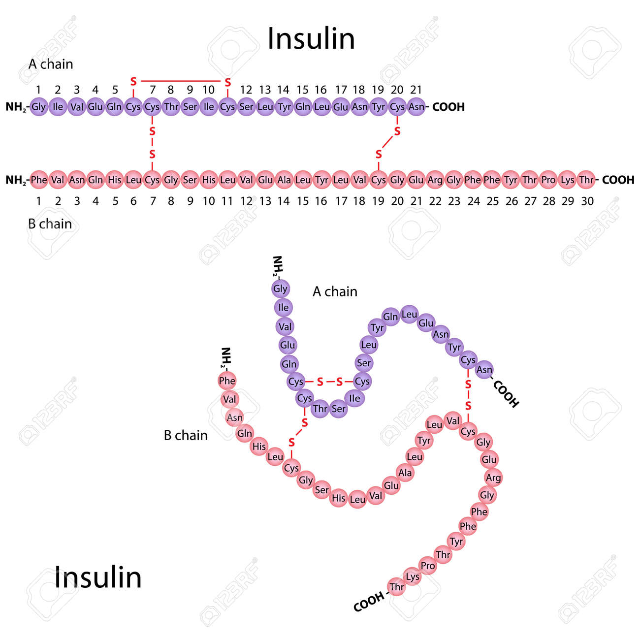 Structure of human insulin - 15749215