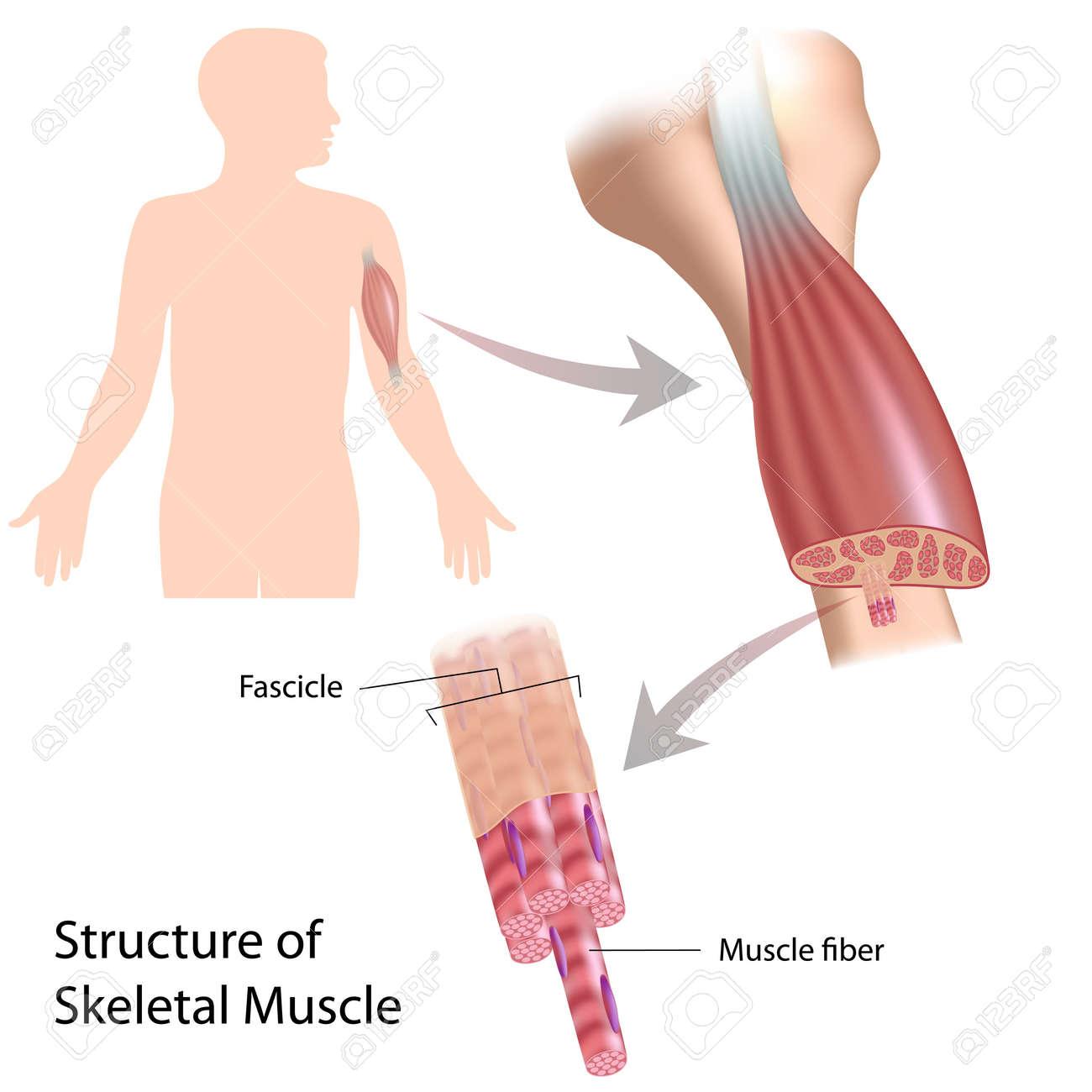 Estructura Del Músculo Esquelético Ilustraciones Vectoriales, Clip ...