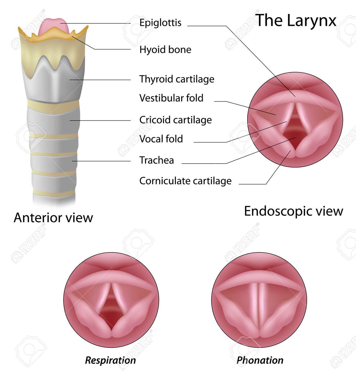 Anatomía De La Laringe Ilustraciones Vectoriales, Clip Art ...