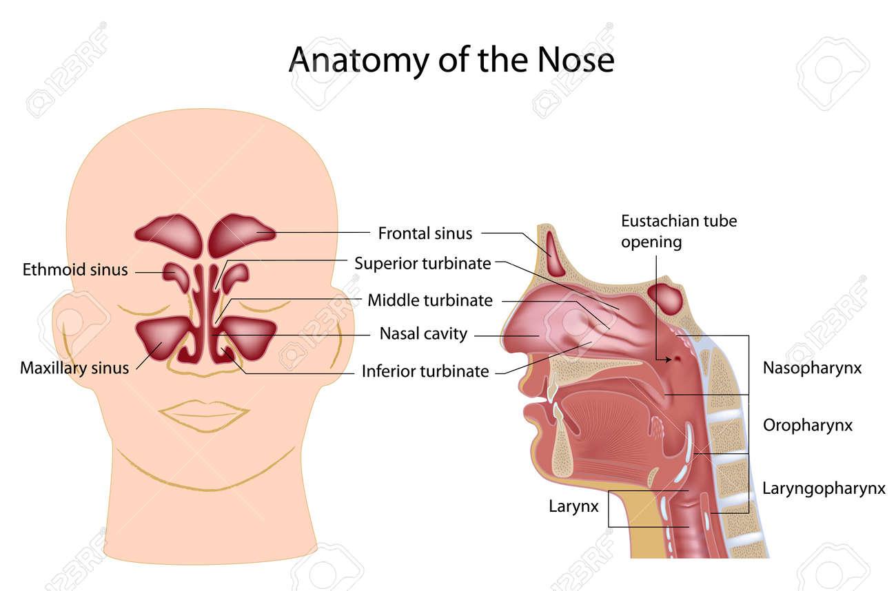 Nariz Anatomía Ilustraciones Vectoriales, Clip Art Vectorizado Libre ...
