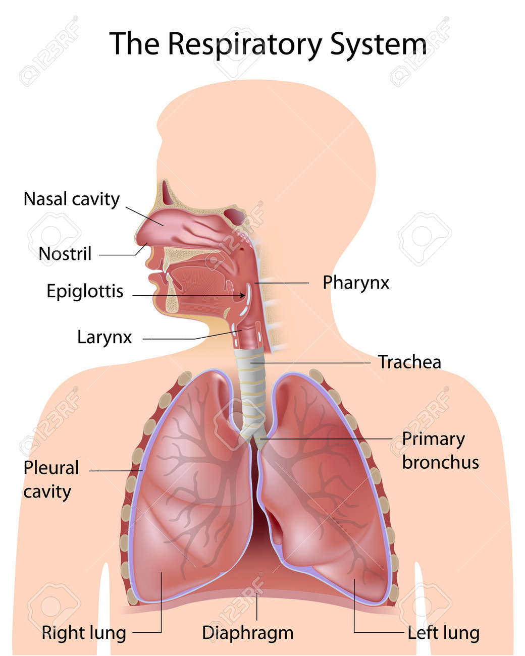 The respiratory system, labeled - 16481969