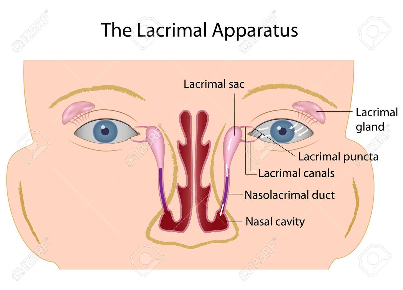 La Glándula Lagrimal Ilustraciones Vectoriales, Clip Art Vectorizado ...
