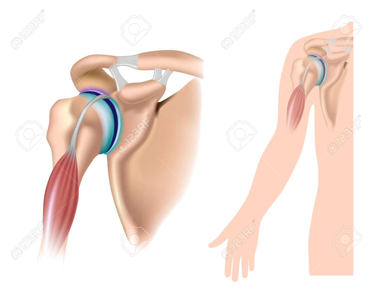 Shoulder anatomy with acromioclavicular joint Stock Vector - 16859730