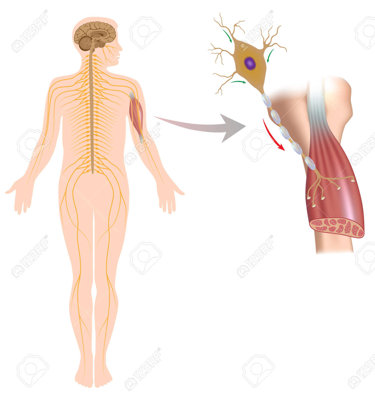 Motor neuron controls muscle movement - 17588316