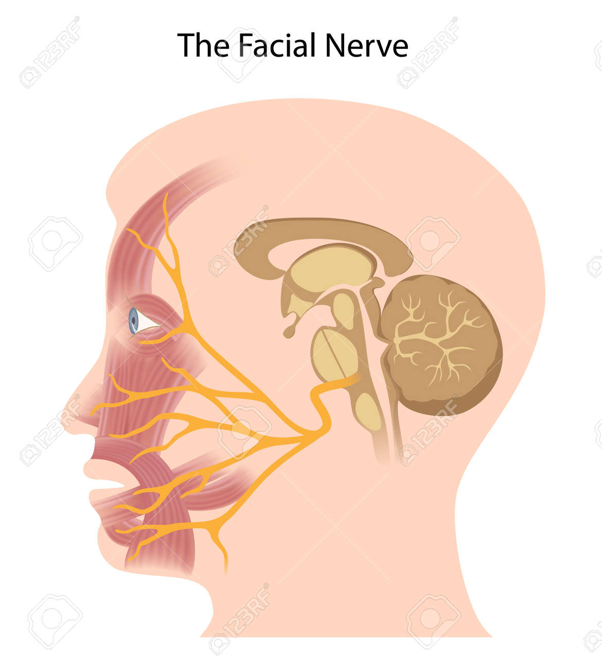 The facial nerve - 17588322