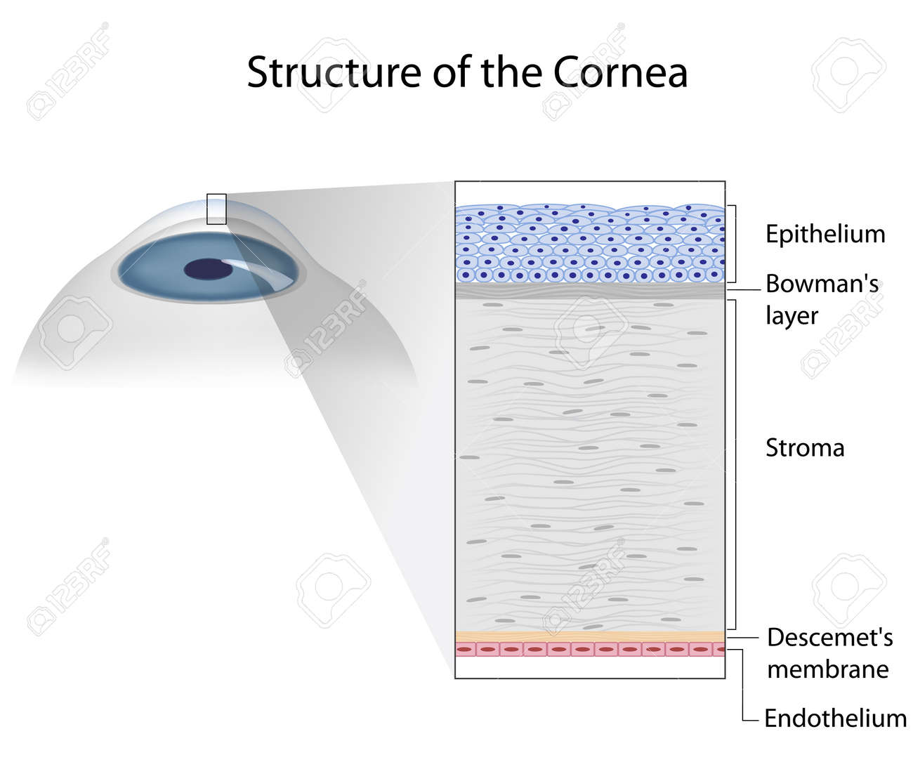 Structure of human cornea - 17754256