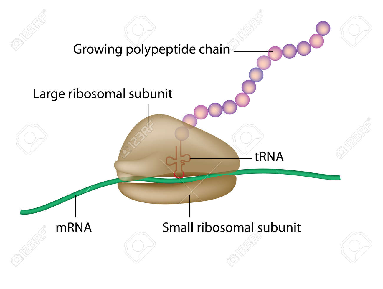 Ribosome and translation stock photo picture and royalty free ribosome and translation stock photo 24748929 pooptronica