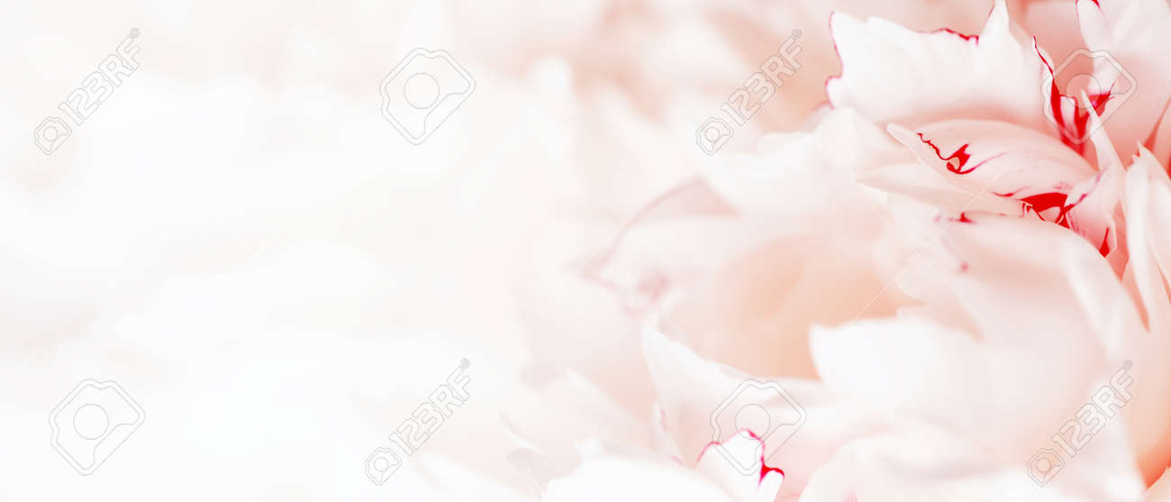 Tender white banner of fresh peony petals, close up - 168917545