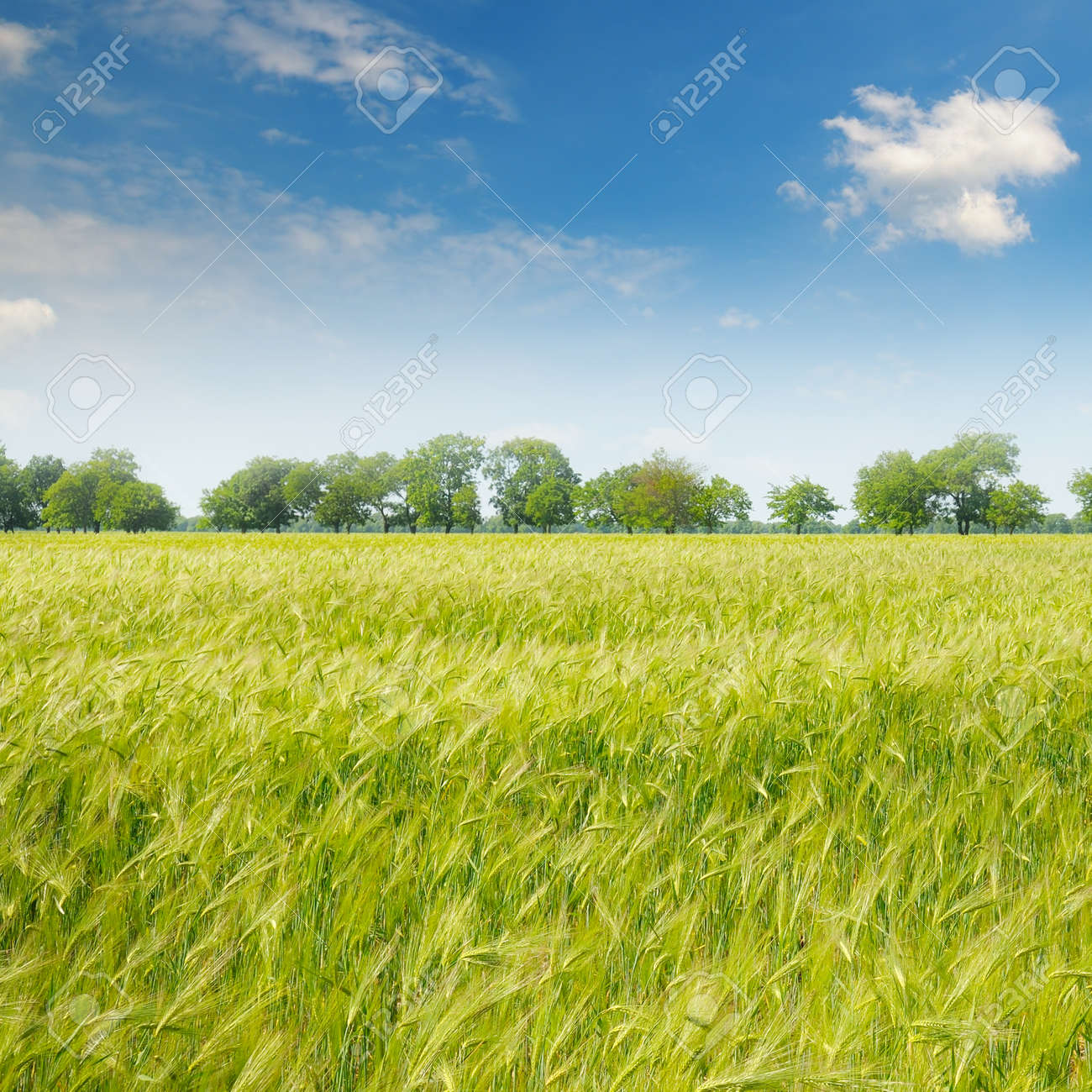 green field and blue sky with light clouds - 49591341