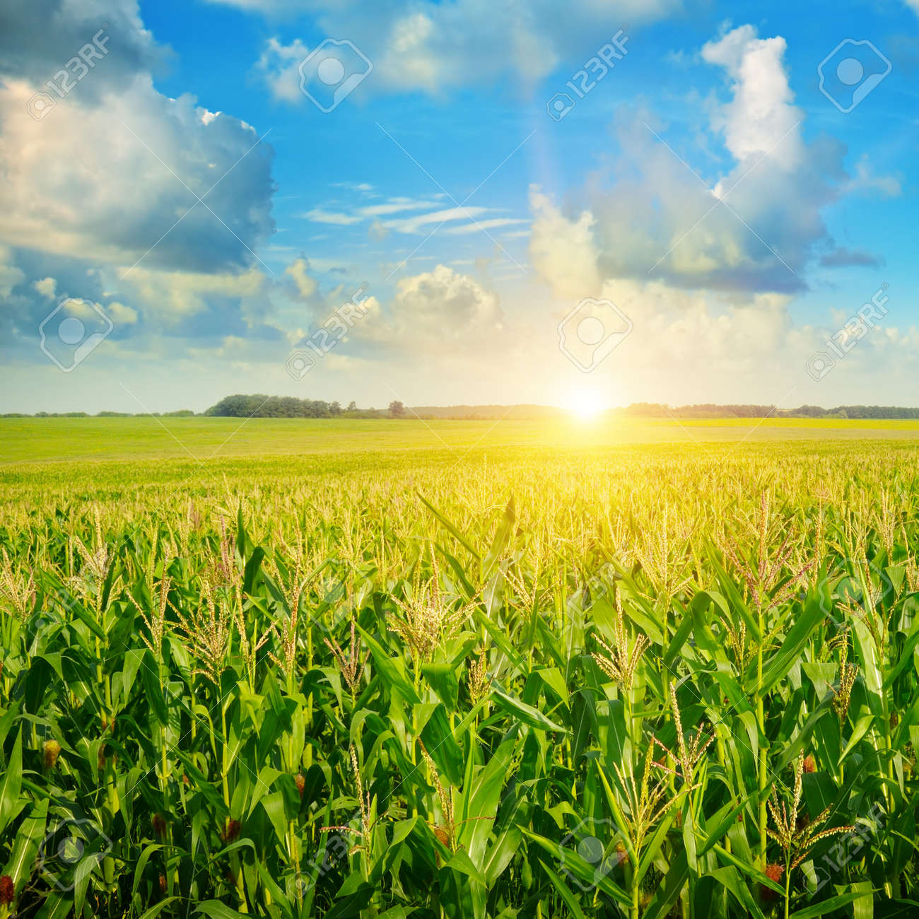 sunrise over the corn field - 51972586