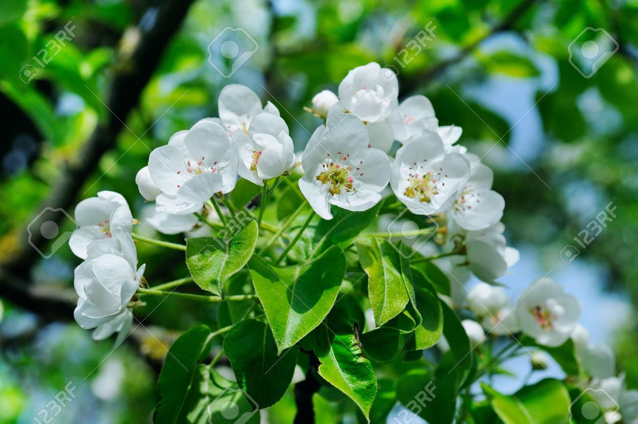 Bluhender Zweig Des Bluhenden Fruhlingsgartens Der Birne Blumen